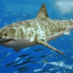 mission: grands requins blancs - MCM